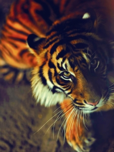 cochet-tiger