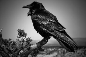 hawk-raven