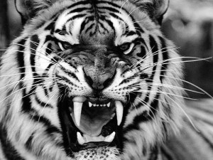 rogers-house-of-rising-son-tiger